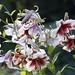 Lilies (Joan Gray) Tags: lilies