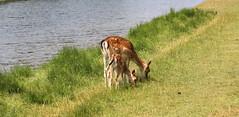 """Dama dama"" - damhert (bugman11) Tags: damhert damadama deer animal animals fauna mammal mammals nature nederland thenetherlands canon 100mm28lmacro amsterdamsewaterleidingduinen zandvoort water grass"