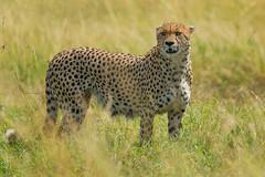 Cheetah (Mujtaba Hussain Shah) Tags: maasaimaranationalreserve kenya africa cheetah lookout fieldsofgold safari wildlife gamedrive cheetahportrait headshot mammal nationalreserve outdoor felineanimal bigcat big5 bigfive closeup fastest