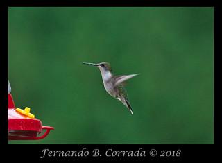 Ruby-throated Hummingbird (2413)