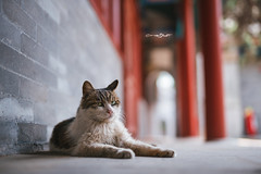 DSC01881+ (๑Kerchak๑) Tags: cat straycat streetcat meow color colour temple fayuansi china beijing cute