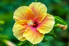 扶桑花Hibiscus flower (游萬國) Tags: 花 flower hibiscus