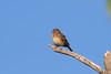 242. L'il Brown Bird (Jan Nagalski (off for awhile)) Tags: snag deadbranch jackpineforest brown breastspot sparrow lincolnssparrow melospizalincolnii crawfordcounty michigan jannagalski jannagal lifebirdphotograph 242