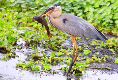 great blue heron with bullhead at Circle B Bar Reserve FL 854A3469 (lreis_naturalist) Tags: great blue heron with bullhead circle b bar reserve florida larry reis