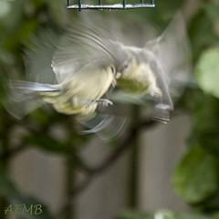 Blue Tits (aemb69) Tags: bluetits cyanistescaeruleus bird paridae fighting