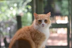 """See how innocent I am?"" (rootcrop54) Tags: jimmy orange ginger tabby male masked cat catenclosure longhair longhaired neko macska kedi 猫 kočka kissa γάτα köttur kucing gatto 고양이 kaķis katė katt katze katzen kot кошка mačka gatos maček kitteh chat ネコ cc1000 cc7000"