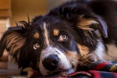 Puppy of border collie (Irena Rihova) Tags: eyes detail portret stene dog pes portraiture portrait bordercollie puppy pets domestic animal