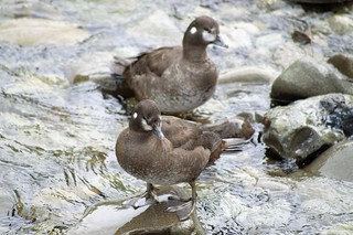 13 - Harlequin Ducks - Photo by Kevin Cherry
