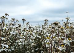 End of life (Wouter de Bruijn) Tags: fujifilm xt2 fujinonxf35mmf14r daisy daisies flower flowers flora floral bokeh depthoffield nature walcheren zeeland nederland netherlands holland dutch outdoor