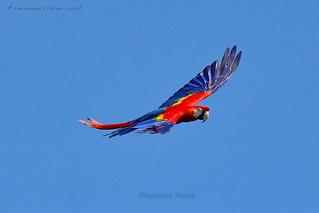 Hellroter Ara - Scarlet macaw