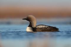 Pacific Loon (Daniel Behm Photography) Tags: pacificloon loon pacific tundra arctic arcticlight nature bird diver barrowalaska barrow ak danielbehm behm studebakerstudios