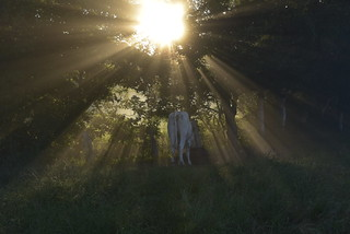 Rind beim Verrichten seines Morgengebets; Bergenhusen, Stapelholm (8)