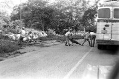 071470 09 (ndpa / s. lundeen, archivist) Tags: nick dewolf nickdewolf july blackwhite photographbynickdewolf bw 1970 1970s monochrome blackandwhite film mexico mexican yucatán yucatan yucatanpeninsula ontheroad road highway trafficjam bus truck people man men animal livestock pig hog rope ropes rural vehicle hogtied