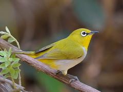 Oriental White Eye (A_K_B) Tags: 200500 nikon malyasia indian small passerine bird whiteeye orientalwhiteeye