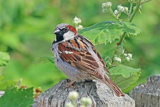 House Sparrow 18-0708-6538