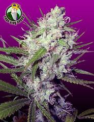 Dark-Angel-Fem (Watcher1999) Tags: dark angel marijuana cannabis feminized seeds cannabiscannabis seedsmedical medical growing thc strains seedsthc bob marleyweed weed smoking ganja reggae legalize it