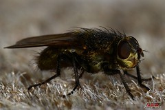 Fly (psychosteve-2) Tags: insect fly