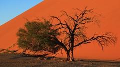 Desert Trees at Sossusvlei (1) (Richard Collier - Wildlife and Travel Photography) Tags: desert landscape namibia trees southernafrica sanddunes sossusvlei