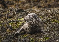 I'll be lazing on a Sunday..... (davidrhall1234) Tags: commonsealphocavitulina seal kerrera scotland animal coastal coast conservation outdoors nature nikon wildlife world shore shoreline sea mammal