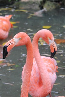 Flamant des Caraïbes - Phoenicopterus ruber