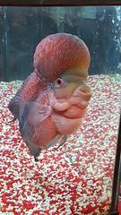 Michael 2 (june18bug) Tags: fish flowerhorn