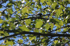 img_100-3343 (Mark Eichin) Tags: greatmeadowsnationalwildliferefuge feeding concord massachusetts treeswallow swallow
