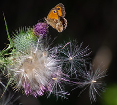 Gatekeeper (hutchyp) Tags: gatekeeper butterfly insect wildlife thistle plant seeds sony alpha a58