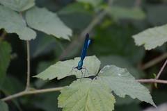 DSC_5348 (samyderni) Tags: d7100 nikon fx dx tamron 70300 70300mm sp vc usd af di f456 456 test jpg jpeg crop belgium belgique hainaut gadin mont sur marchienne montigny le tilleul insect macro insecte libellule blue bleu bleue