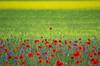 I Colori di Castelluccio (emanuelezallocco) Tags: castelluccio norcia umbria colori fioritura lenticchie papavero italia