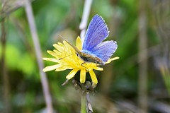 Shimmering Blue. (pstone646) Tags: butterfly blue nature insect animal wildlife flora flower fauna yellow kent bokeh