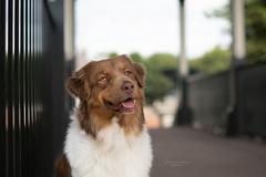 Mia (pikturesartsphotographieanimaliere) Tags: dog dogphotography dogsphotography dogportrait aussie australianshepherd