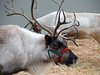 Reindeer of Swansons (Sotosoroto) Tags: seattle washington blueridge swansons reindeer christmas