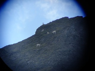 Alaska Dall Sheep Hunt & Moose Hunt 43