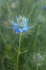 nigelle de damas (heiserge) Tags: france nigellededamas lorraine moselle europe ogy fleurs