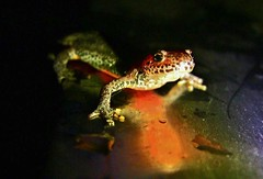 Lurchi nachts im Garten , 76270/10202 (roba66) Tags: tier tiere animal animals creature fauna lurch nature natur naturalezza night