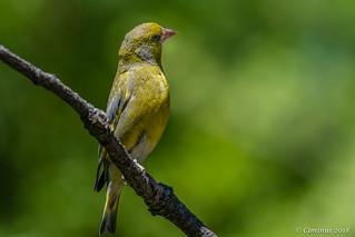 Chloris chloris ♂︎  (Verdone comune, Greenfinch).