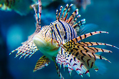 Scorpionfish (moaan) Tags: kobe hyogo japan jp fish scorpionfish aquarium aqualife watertank underwater swim swimming indoor sumaaqualifepark closeup focusonforeground selectivefocus bokeh bokehphotography canoneos5dsr ef70200mmf28lisiiusm utata 2018