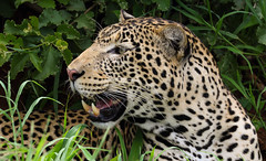 Looking Out For The Weekend ... (AnyMotion) Tags: africanleopard pantheraparduspardus leopard portrait porträt cat cats katzen katze 2018 anymotion tarangirenationalpark tanzania tansania africa afrika travel reisen animal animals tiere nature natur wildlife 7d2 canoneos7dmarkii ngc npc