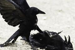20180310_Vincennes_Corneille noire (thadeus72) Tags: aves birds carrioncrow corneillenoire corvidae corvidés corvuscorone oiseaux passériformes