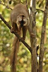 IMG_8279 Common Brown Lemur (Eulemur fulvus) (Kalina1966) Tags: madagascar animals lemur