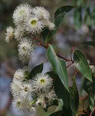 Eucalyptus calophylla, Welshpool Road Hill, Perth, WA, 18/02/18 (Russell Cumming) Tags: plant eucalyptus eucalyptuscalophylla myrtaceae welshpoolroadhill perth westernaustralia corymbiacalophylla marri