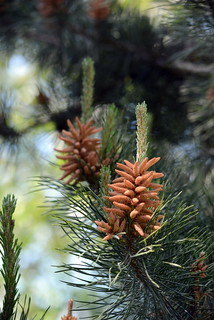 PINE TREE MAKING BABIES.  SPRING FOREST IN THE FRASER VALLEY,  BC.