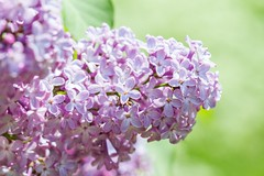 Lilacs (Karen_Chappell) Tags: lilac pink purple green flower floral tree bokeh nature summer nfld newfoundland garden stjohns canada atlanticcanada avalonpeninsula eastcoast canonef100mmf28usmmacro macro pastel pretty flowers blossoms