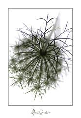 Wilde peen - Wild carrot (Marian Smeets) Tags: schermplant wildepeen vogelnestje daucuscarota wildcarrot macro macrophotography macrofotografie nikond750 nikkormacrolens105mmf28 mariansmeets natuur nature natuurfotografie bloem flower highkey 2016
