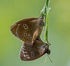 DSC7268  Ringlets... (jefflack Wildlife&Nature) Tags: ringlet ringlets lepidoptera butterflies butterfly insects insect wildlife wetlands woodlands glades countryside copse heathland hedgerows moorland marshland meadows marshes heaths wildlifephotography jefflackphotography nature