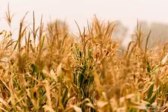 Maize Crop (PB1_1186) (Param-Roving-Photog) Tags: maize corn cashcrop field agriculture research pau university punjab diversification paddyalternative environmental destruction nature monoculture duststorm dusty freak weather