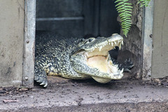 Cuban Crocodile at National Zoo (dckellyphoto) Tags: animal nationalzoo washingtondc districtofcolumbia 2018 zoo crocodile cubancrocodile nationalzoologicalpark smithsonian