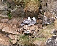 Next Morning at Latheronwheel harbour (doublejeopardy) Tags: bird seabird scotland fulmar latheronwheel unitedkingdom gb