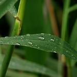 Dew_drops thumbnail