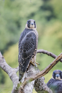 Stereo Peregrine Falcons - Juvenile (Falco peregrinus) 'L' for large